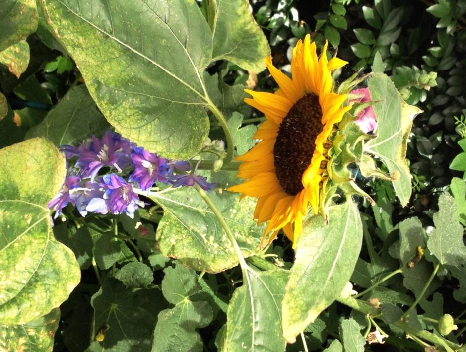 Sunflower NYBG