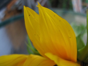 sunflower petal